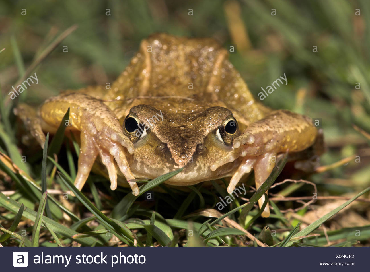 a common frog in defence - Stock Image