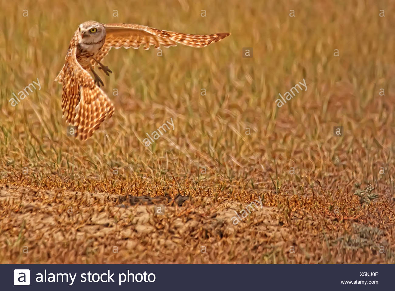 Digitally enhanced image with painterly effect of Burrowing Owl taking flight, Grasslands National Park, Saskatchewan - Stock Image