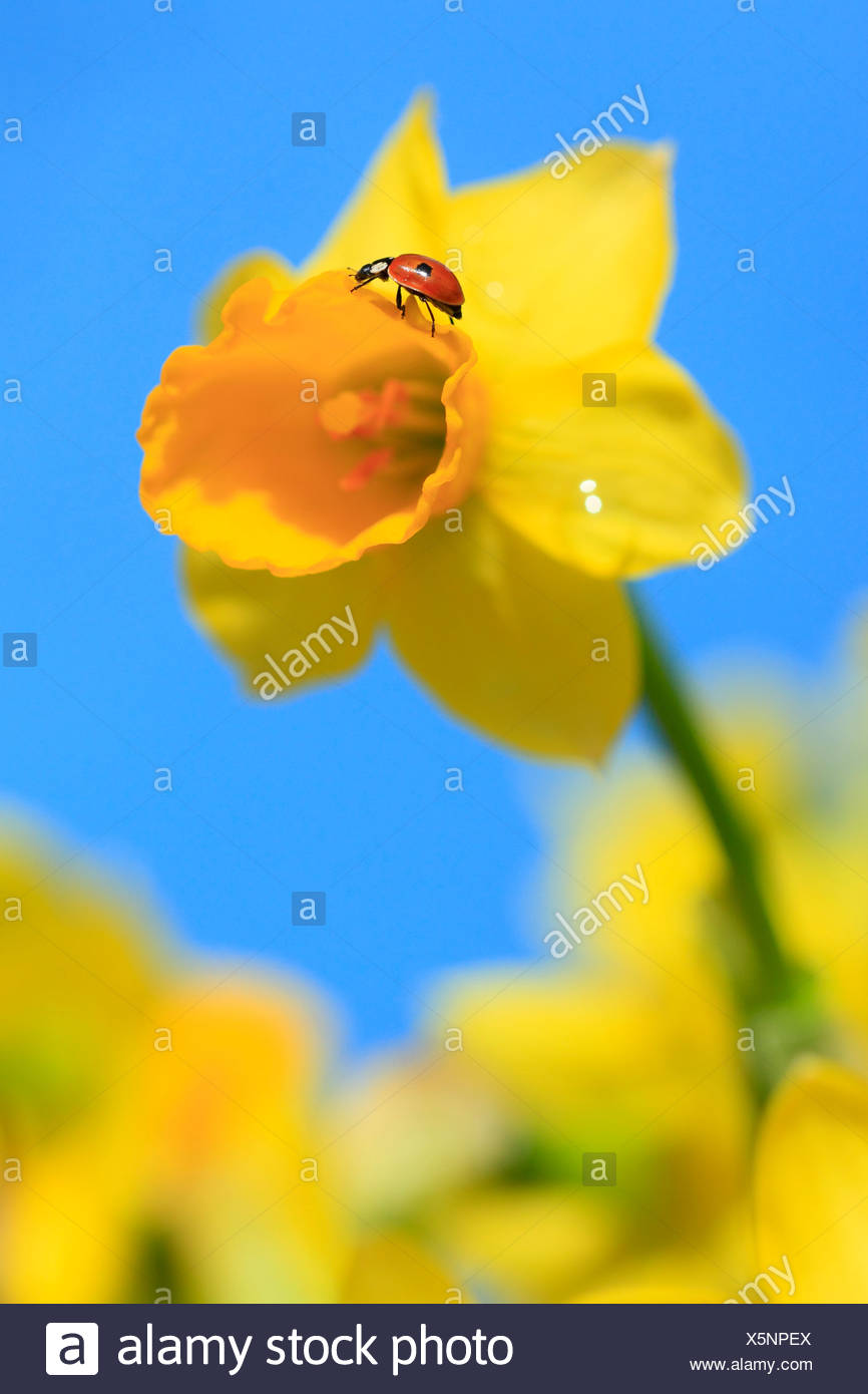 2, Adalia bipunctata, flower, flowers, splendour, blossom, flourish, Coccinellidae, detail, field, spring, garden, garden flower - Stock Image