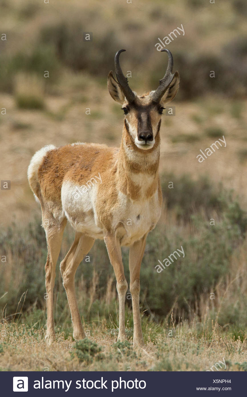 Pronghorn, Antilocapra americana, Southwest USA, Wyoming, Montana - Stock Image