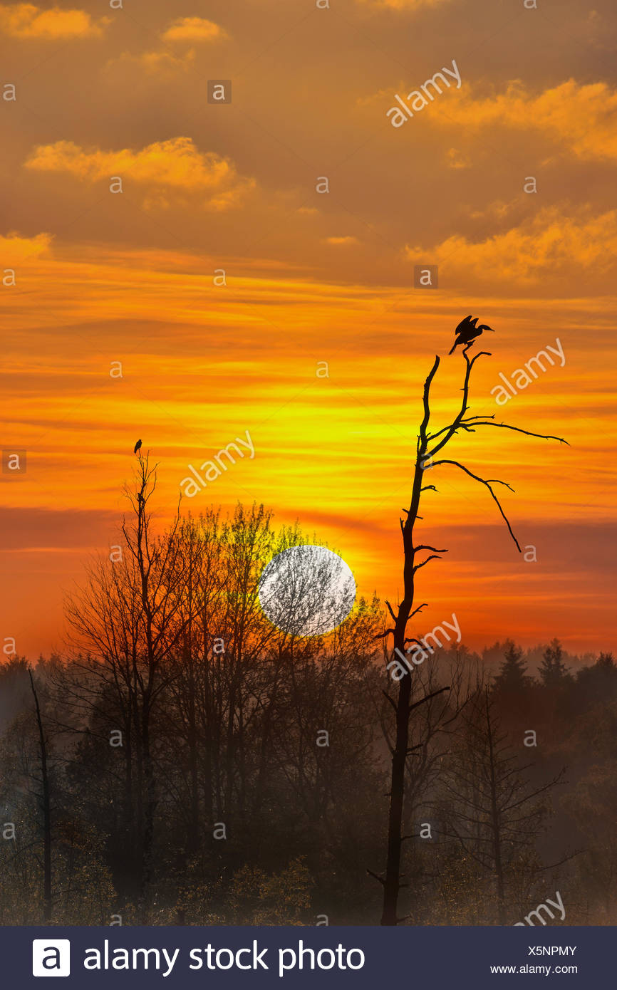 Kormoran sitting on an old tree at sunset, Schwenningen, Baden-Württemberg, Germany - Stock Image