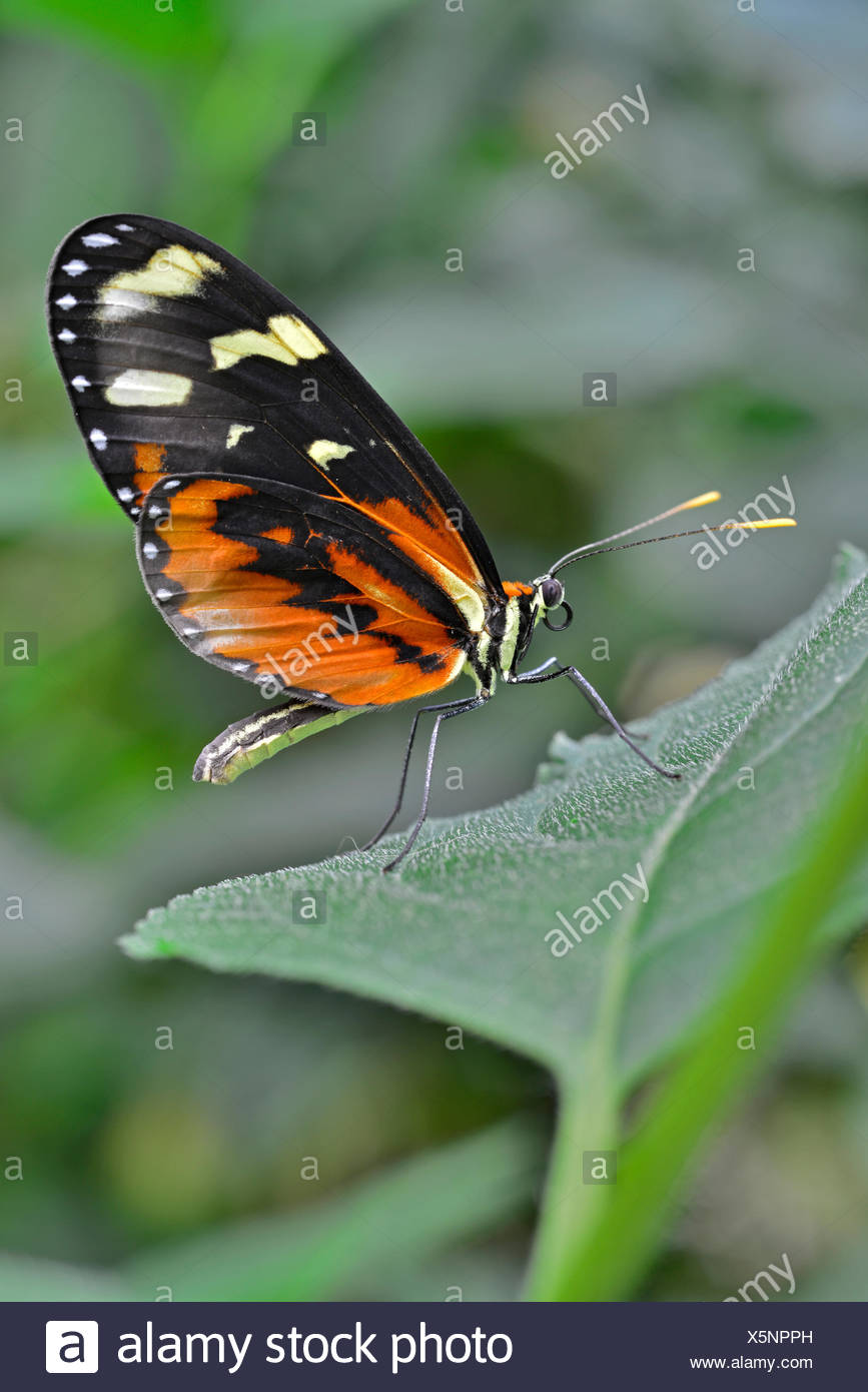 Red Postman (Heliconius erato), native to Brazil, butterfly house, Forgaria nel Friuli, Udine province, Italy - Stock Image
