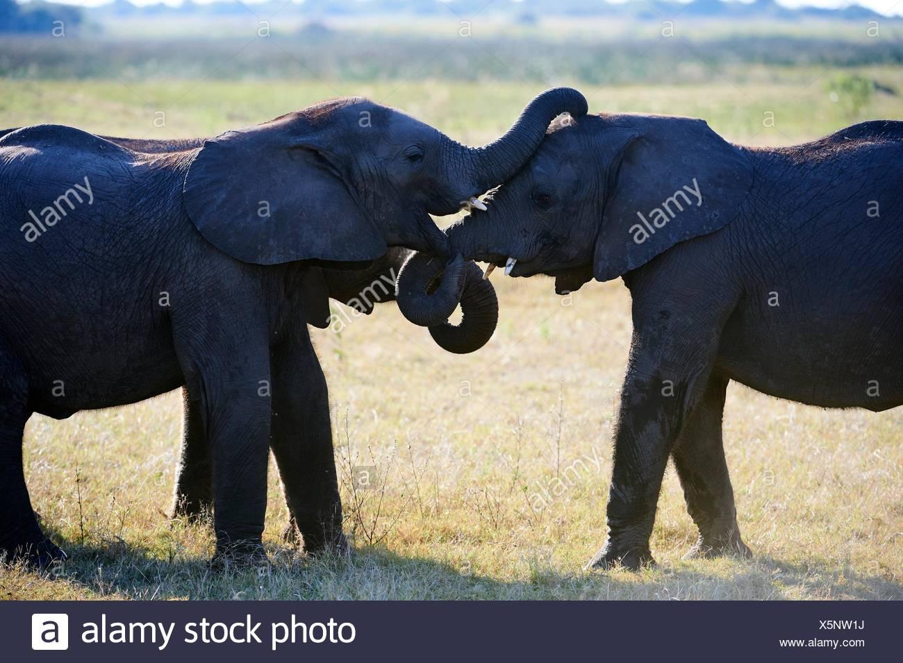 Two African elephant juveniles sparring (Loxodonta africana), Duba Plains, Okavango Delta, Botswana, Southern Africa. - Stock Image