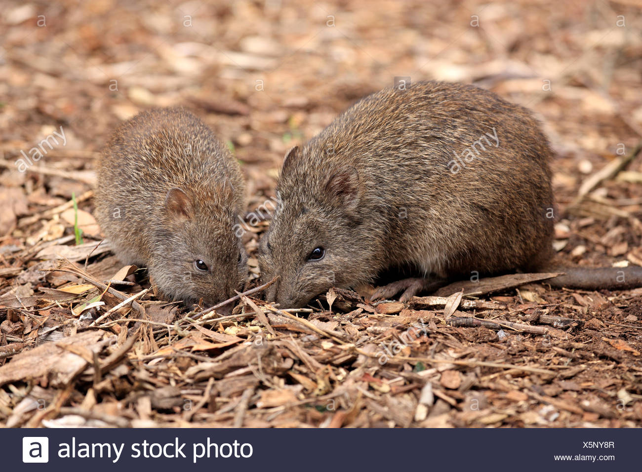 Long nosed Potoroo,  adult female with young searching for food, South Australia, Australia / (Potorous tridactylus) - Stock Image