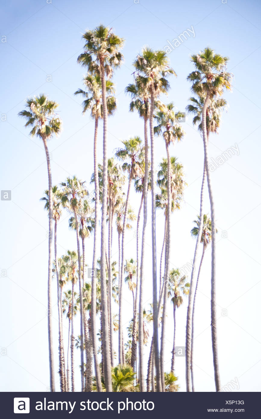Tall palm trees - Stock Image