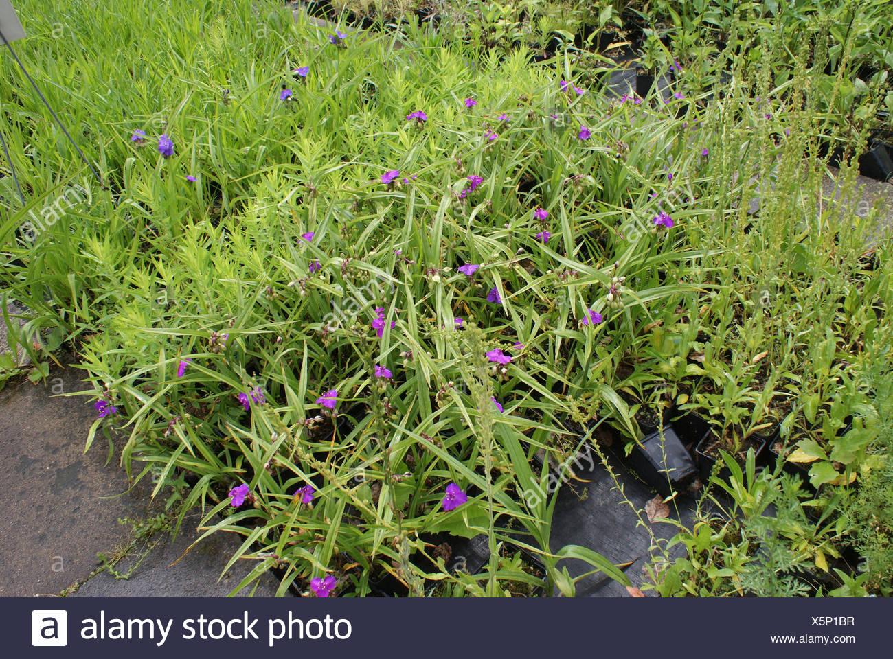 Spiderwort - Stock Image