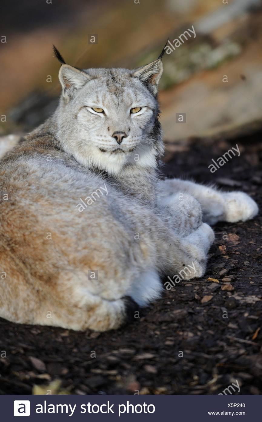 Siberian lynx resting - Stock Image