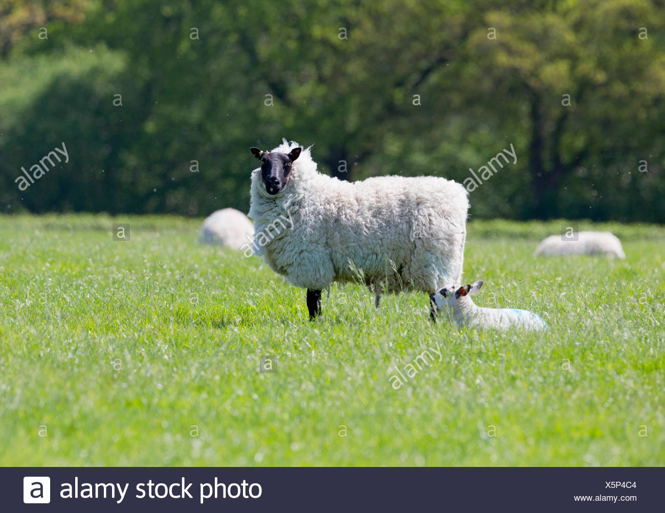 Portrait of sheep and lamb in sunny green spring field - Stock Image