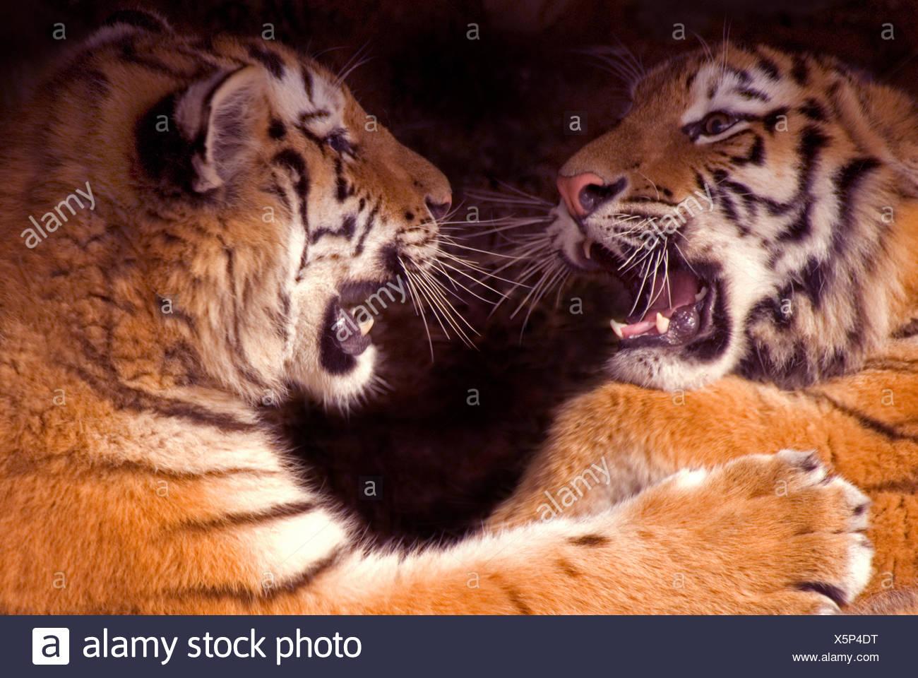 Siberian tiger {Panthera tigris altaica} two cubs play fighting, captive - Stock Image
