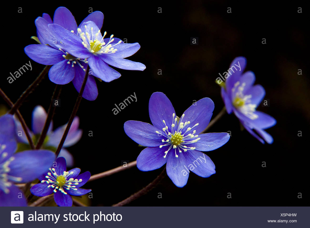 Hepatica, liverleaf, liverwort, is a genus of herbaceous perennials in the buttercup family, native to central and northern Europe, Asia and eastern North America. Lombardy Italy Europe Stock Photo