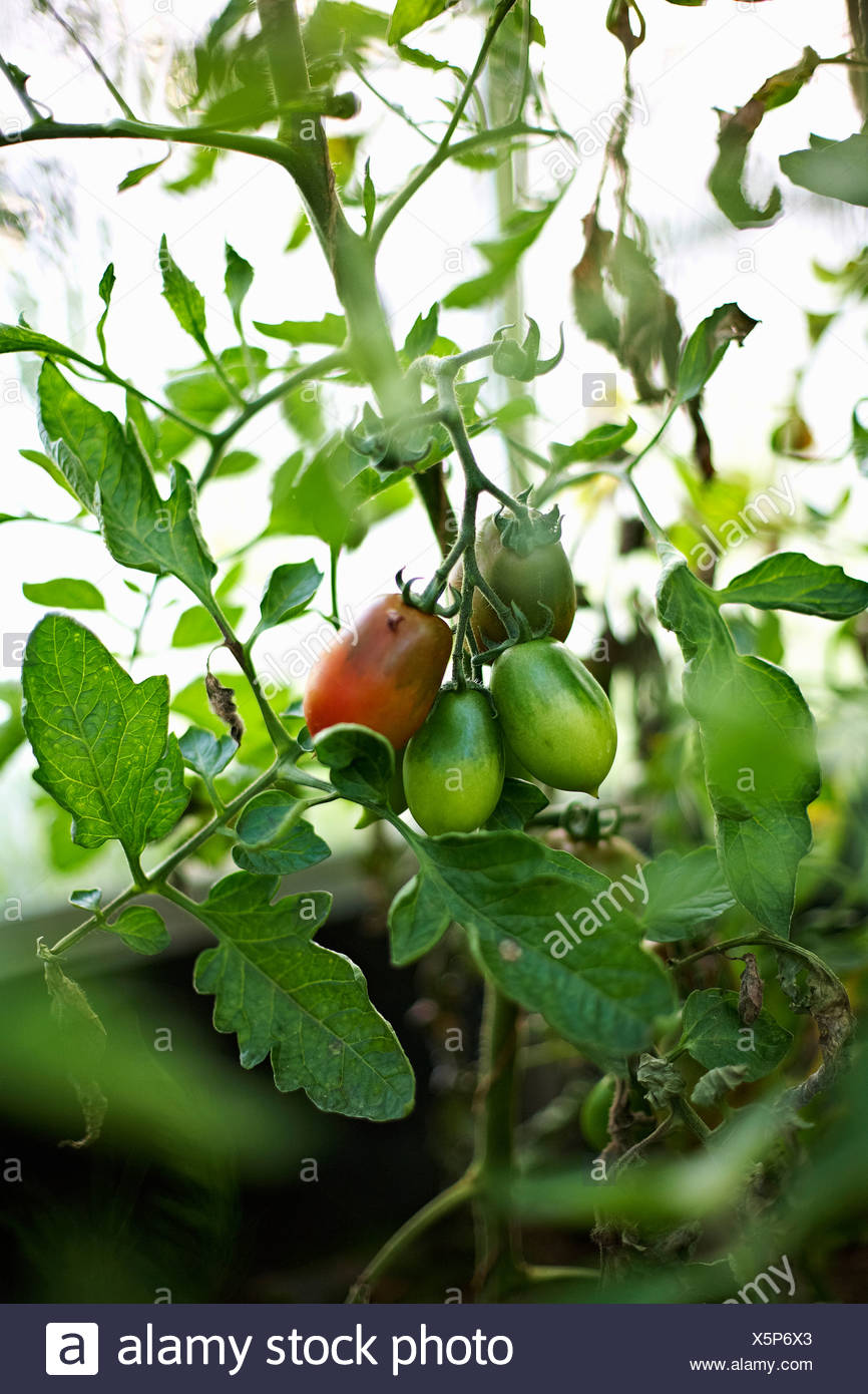 Tomatoes growing on vine outdoors - Stock Image