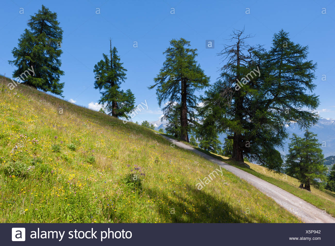 Prarion, Switzerland, Europe, canton, Valais, Wallis, larches, trees, - Stock Image