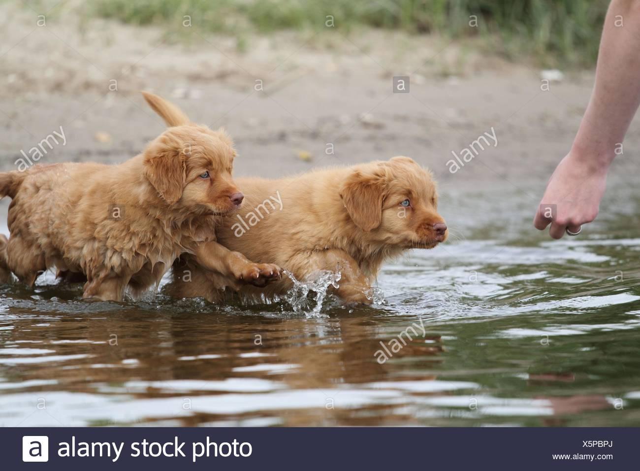 Nova Scotia Duck Tolling Retriever Puppies - Stock Image