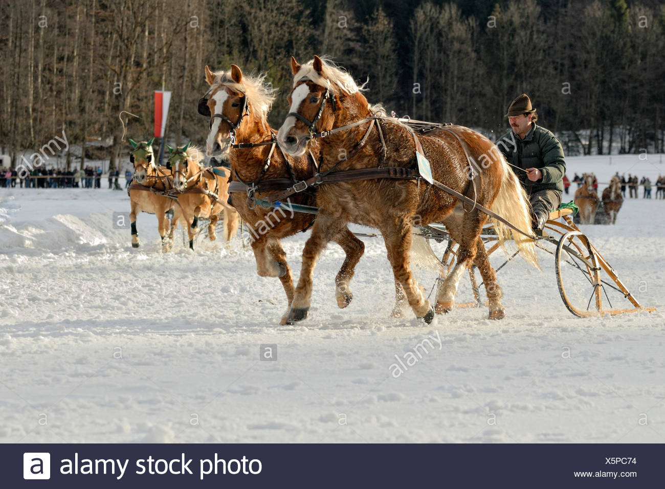 Sleigh race for Haflinger carriage and pairs in Parsberg, Upper Bavaria, Bavaria - Stock Image