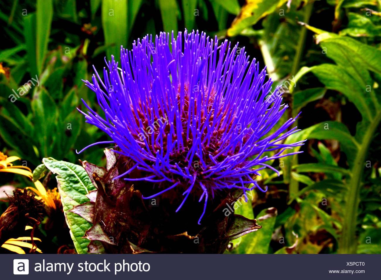 Purple Spiky Plant Stock Photos & Purple Spiky Plant Stock