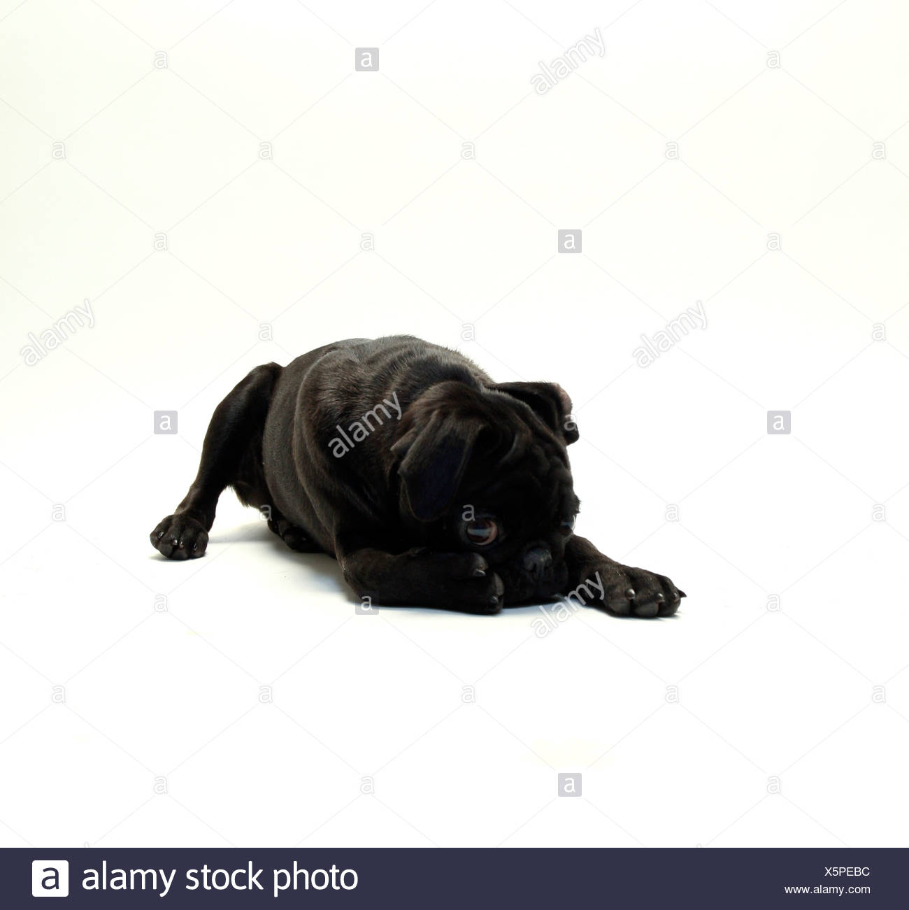 Black Pug puppy resting - Stock Image