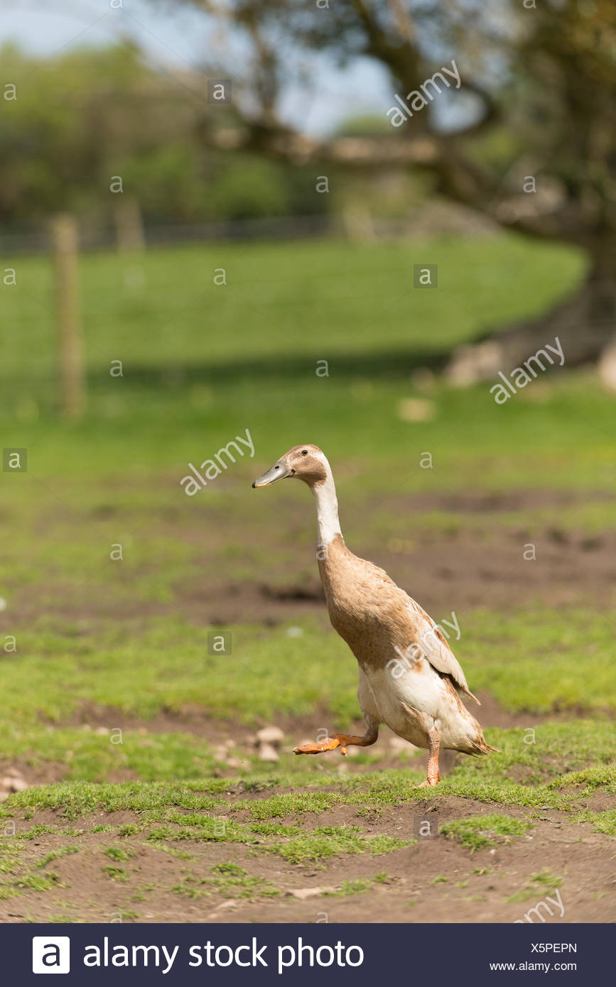 An Indian runner domesticated duck runs across a farm. - Stock Image