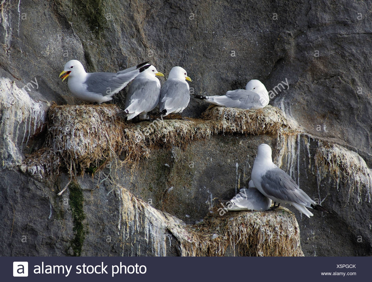 Gulls (Laridae) are sitting on a rock, Norway, Scandinavia - Stock Image