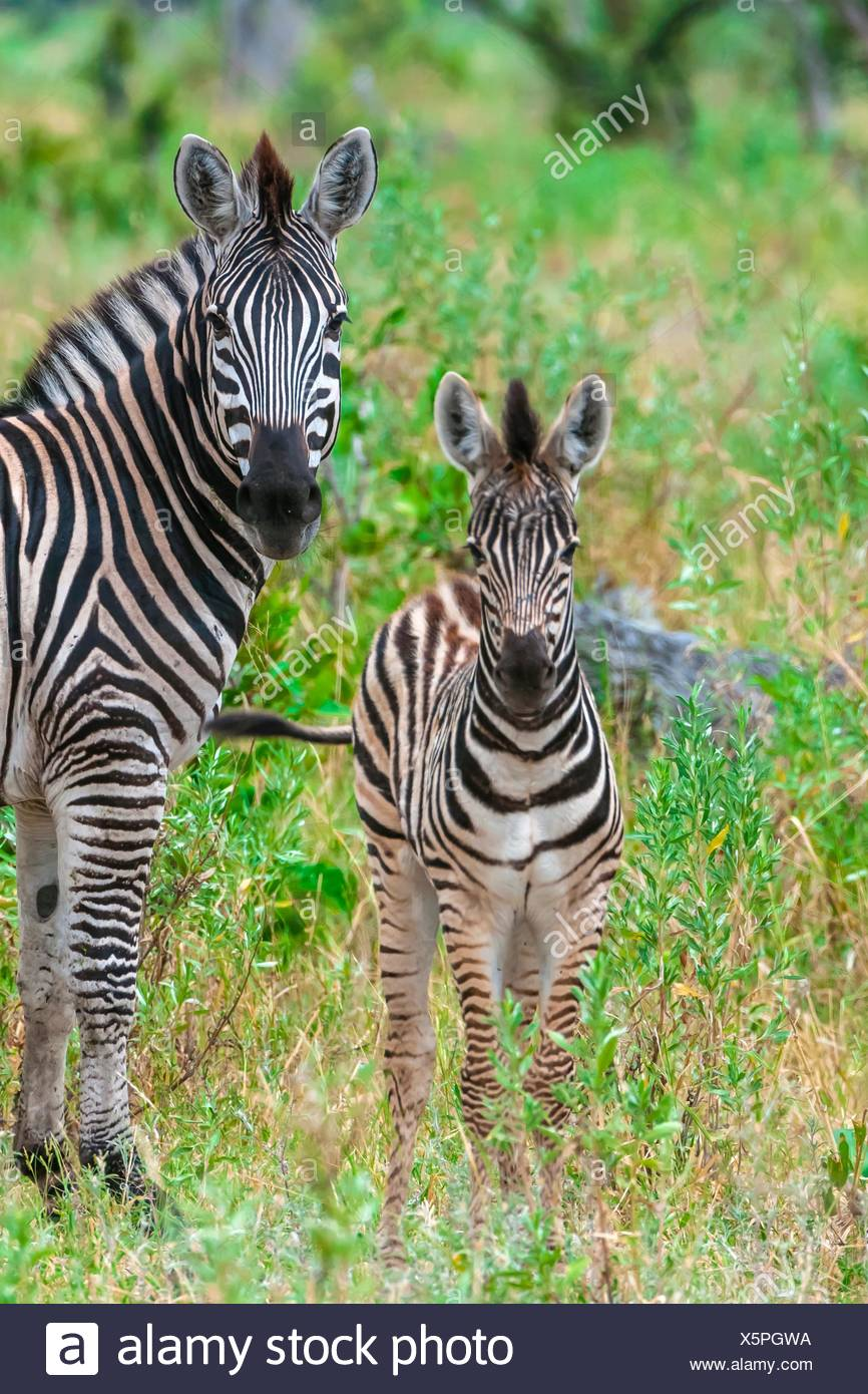 Baby zebra (foal), Kwando Concession, Linyanti Marshes, Botswana. Stock Photo