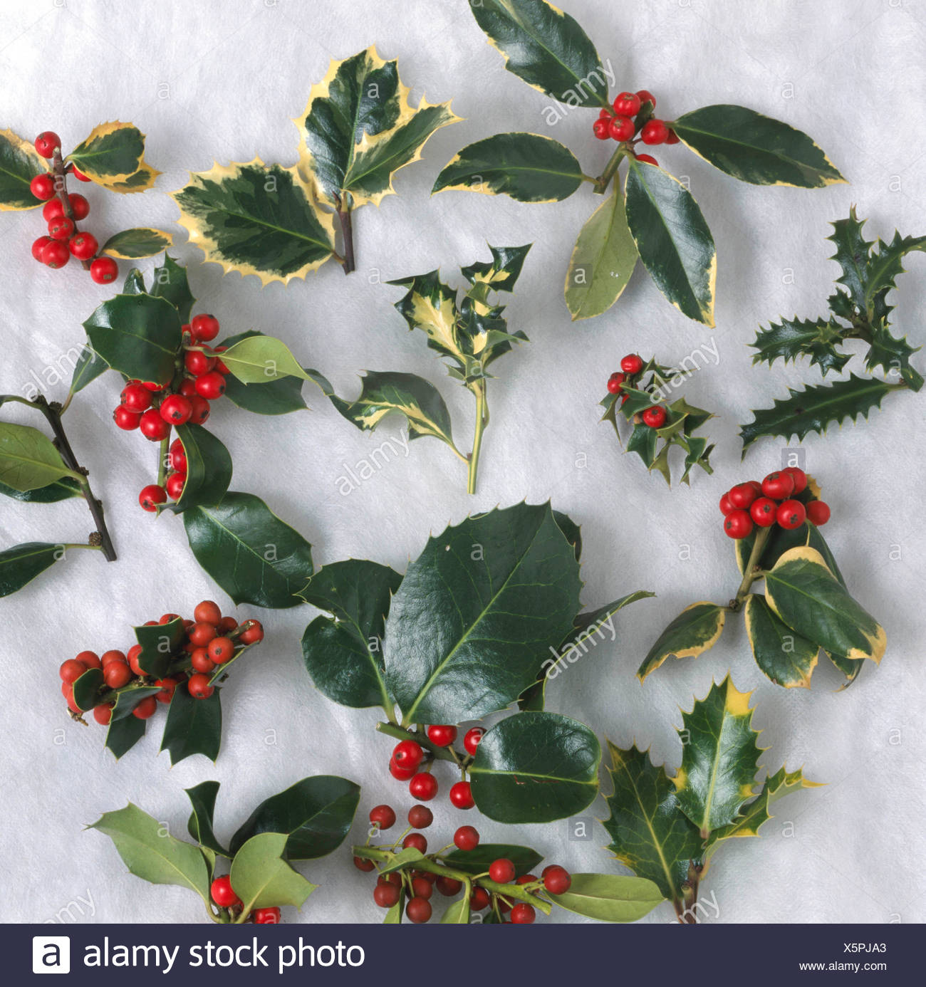 Cutout Holly Berries Mixed Cut Out Silhouette Ilex Trs102196