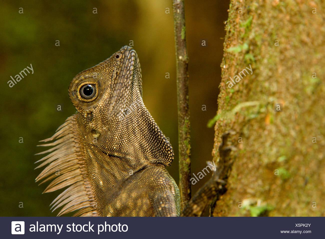 Blue-eyed Angle-headed Lizard (Gonocephalus liogaster) close-up. Stock Photo