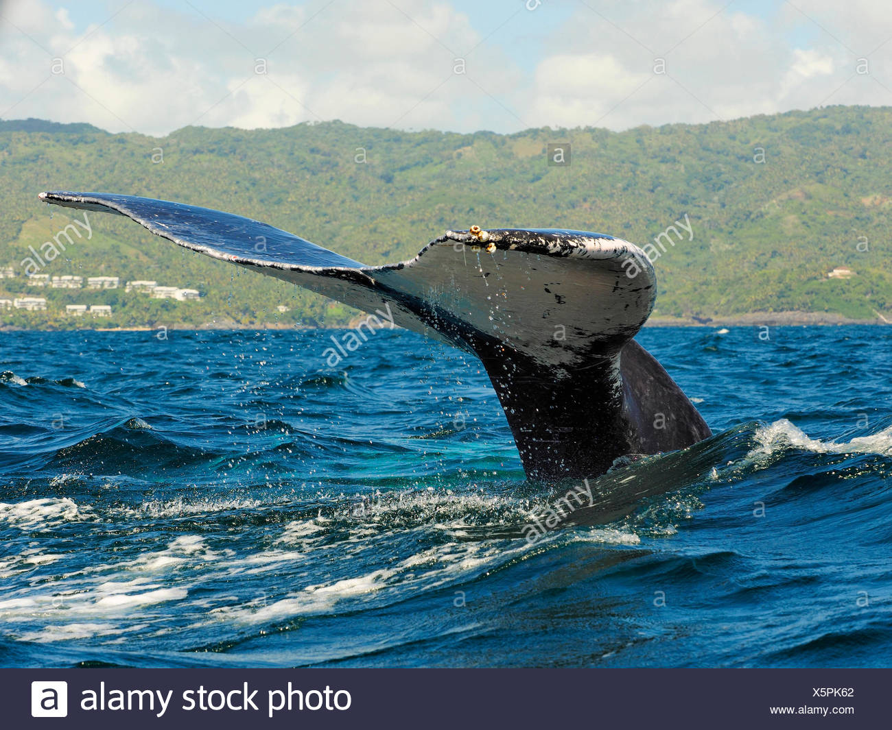 humpback whale (Megaptera novaeangliae), tail fin, Dominican Republic, Samana - Stock Image