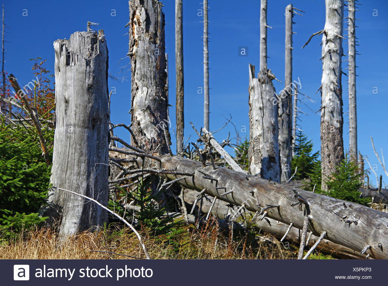 Dying forests in the Bavarian Forest Stock Photo