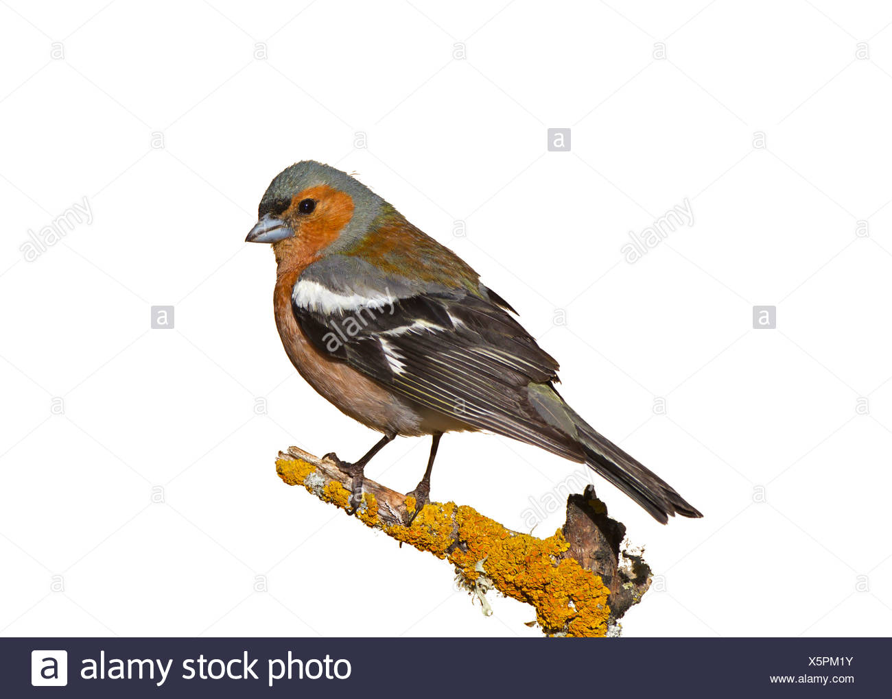Chaffinch - Fringilla coelebs - male summer. - Stock Image