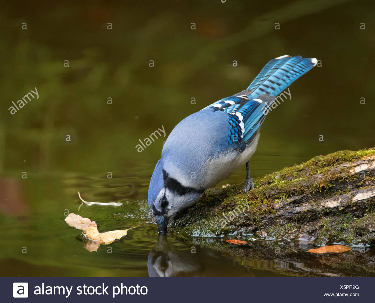 A Blue Jay, Cyanocitta cristata, drinks from a backyard pond, in Saskatoon, Saskatchewan, Canada - Stock Image