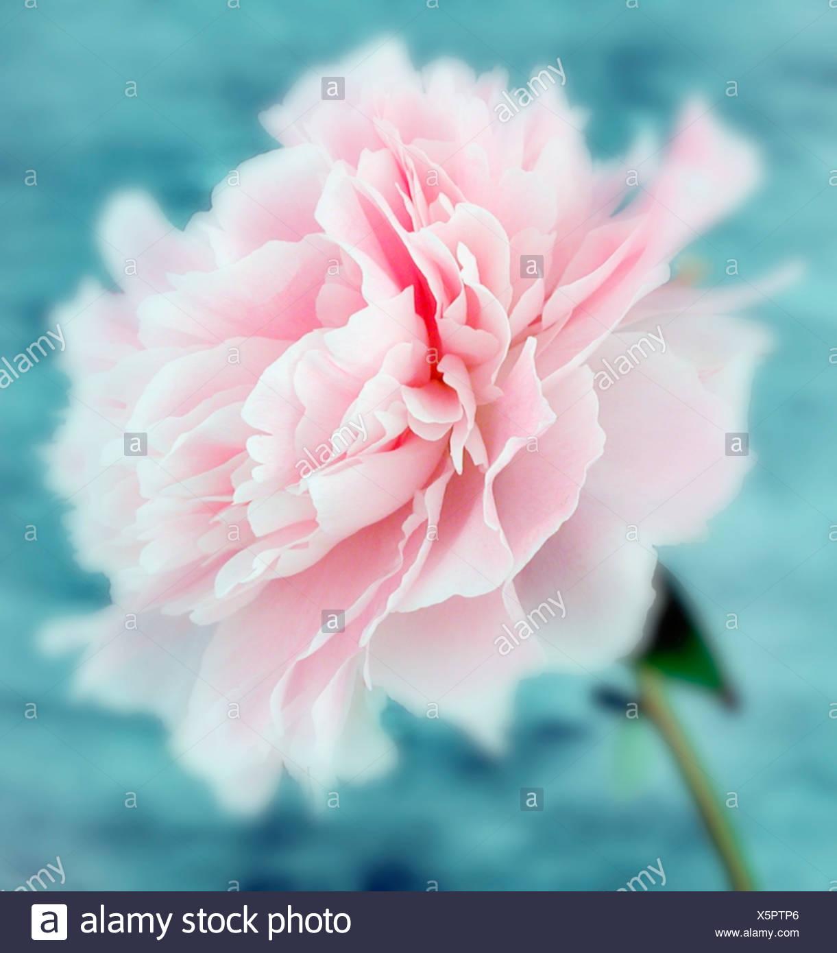 Paeonia lactiflora 'Sarah Bernhardt', Peony Stock Photo