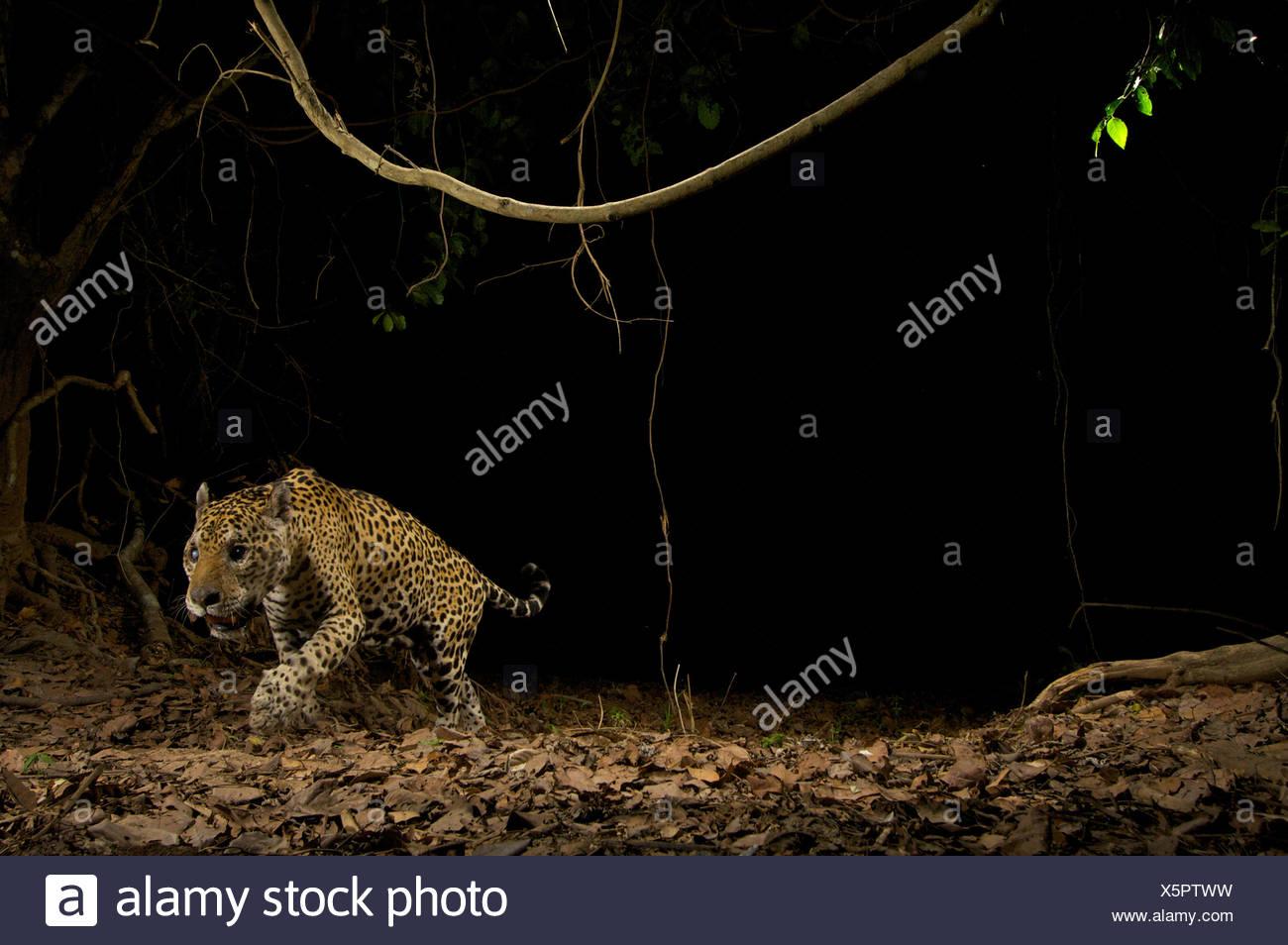 A wild jaguar sets off a camera trap set up to monitor jaguar movements in the Brazilian Pantanal. - Stock Image