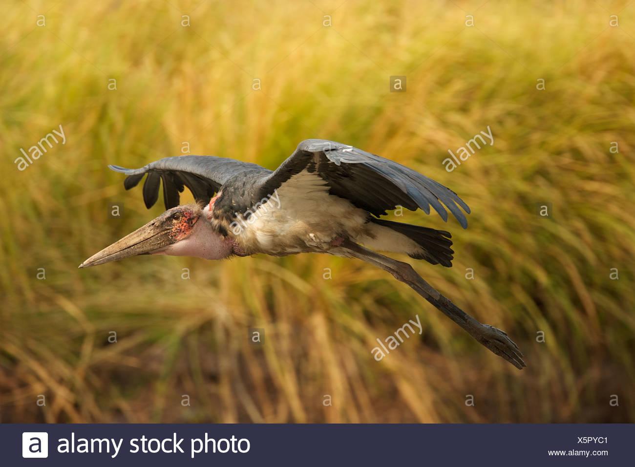 Marabou stork - Leptoptilos crumeniferus, Mana Pools National Park, Zimbabwe - Stock Image