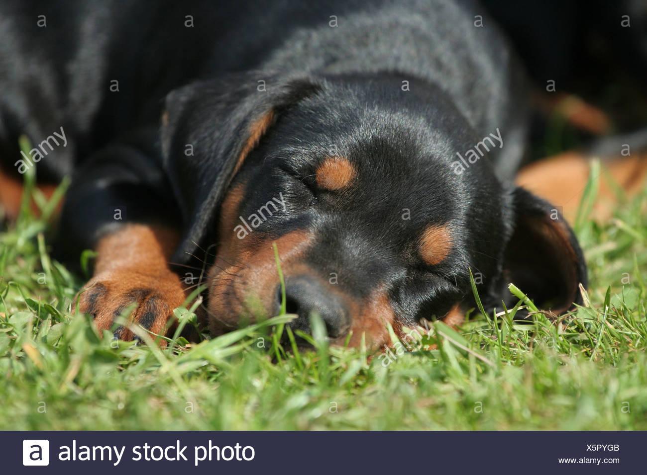sleeping German Pinscher puppy Stock Photo