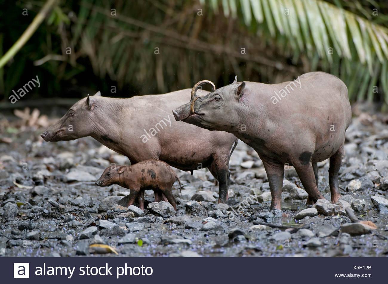 babirusa (Babyrousa babyrussa celebensis, Babyrousa celebensis), male and female, Indonesia, Sulawesi - Stock Image