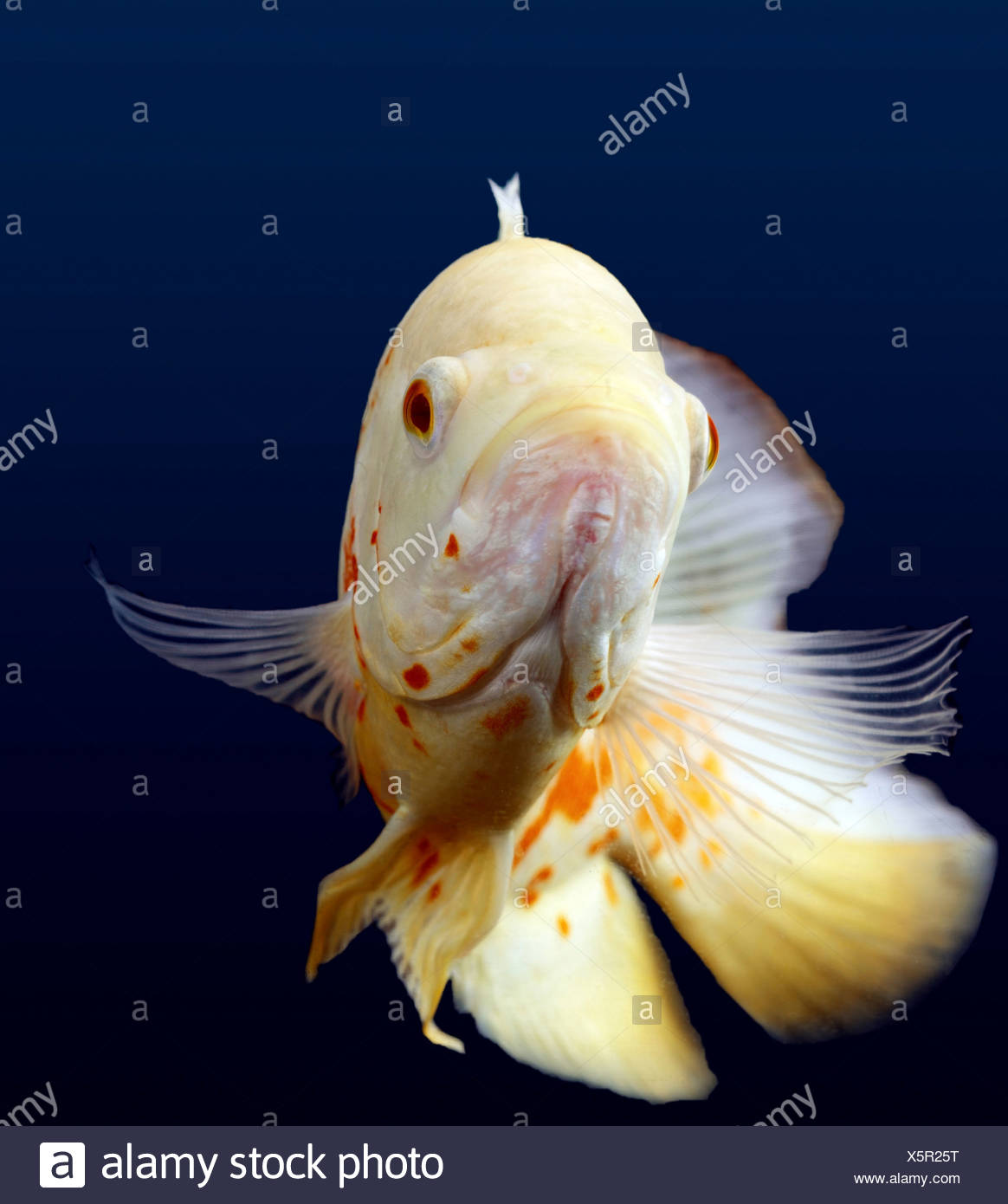 White Oscar Fish - Stock Image