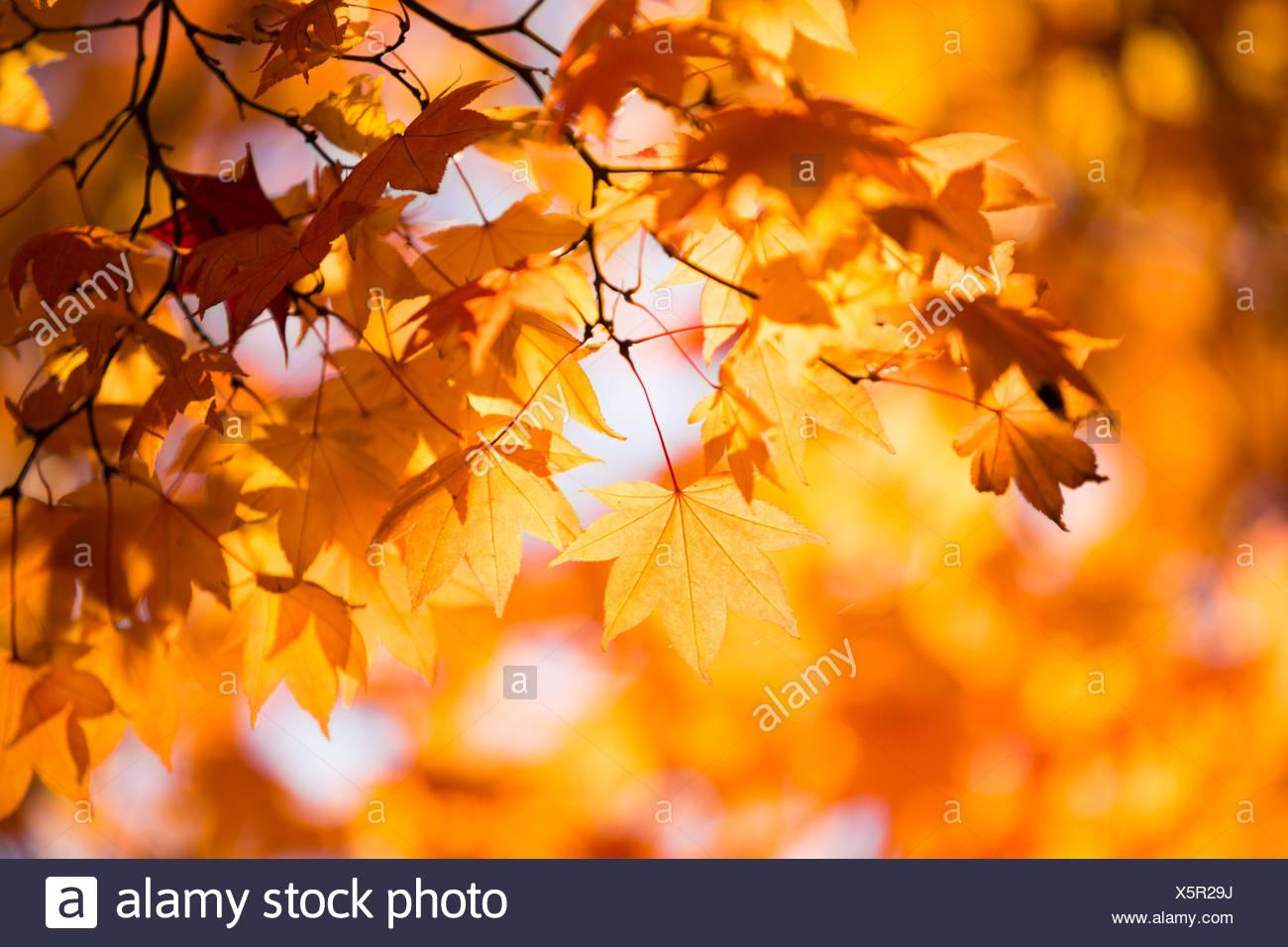 Japanese Fall Foliage - Stock Image