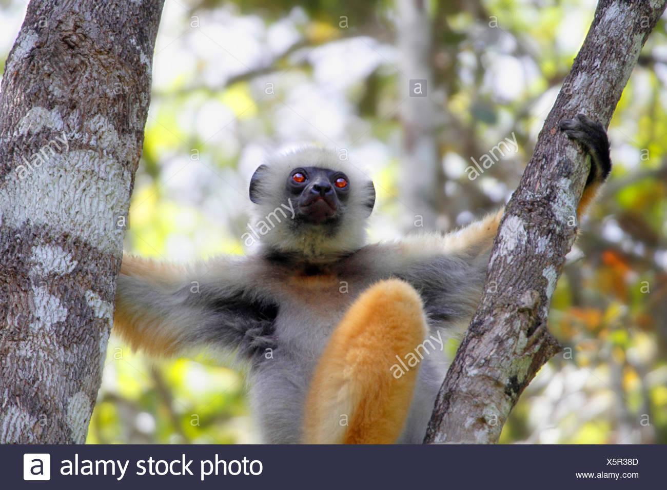 diadem sifaka, diademed sifaka (Propithecus diadema), is sitting on a fork of a branch, Madagascar, Analamazaotra National Park - Stock Image