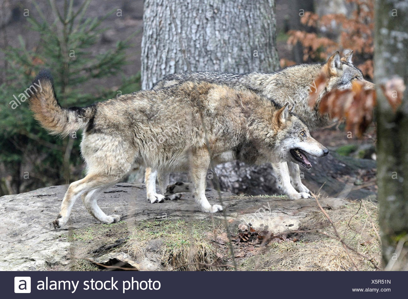 Canis lupus, canids, European Wolf, animal, Gray wolf, predators, wolves, predator, Wolf, animal, winter, snow, deep snow, cold, - Stock Image
