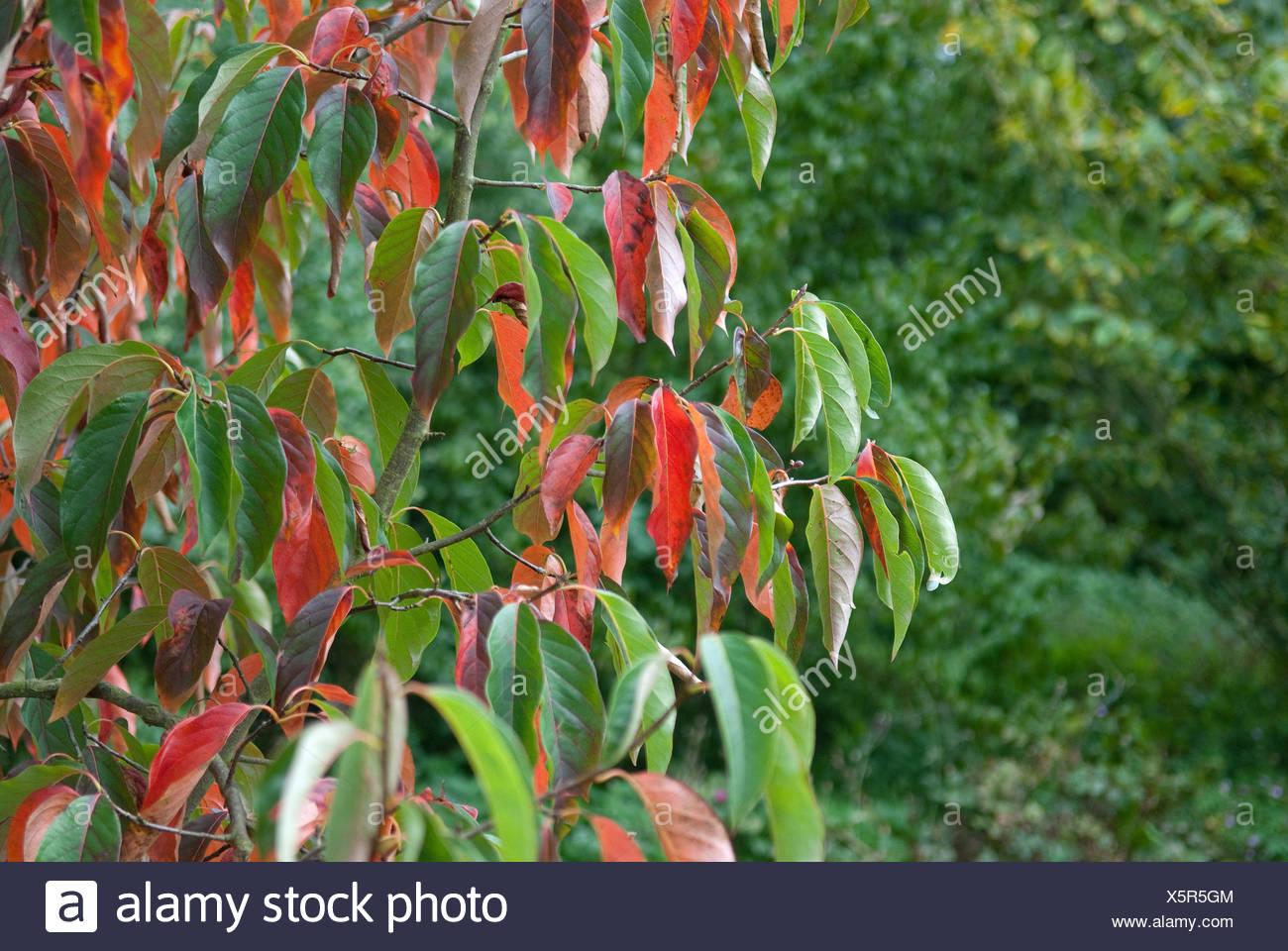 Chinese Tupelo (Nyssa sinensis 'Jim Russel', Nyssa sinensis Jim Russel), cultiar Jim Russel in autumn - Stock Image