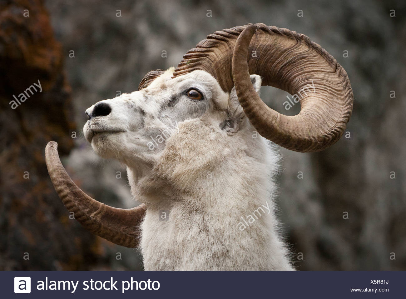 A full-curl Dall ram, Chugach Mountains south of Anchorage, Southcentral Alaska, Summer - Stock Image