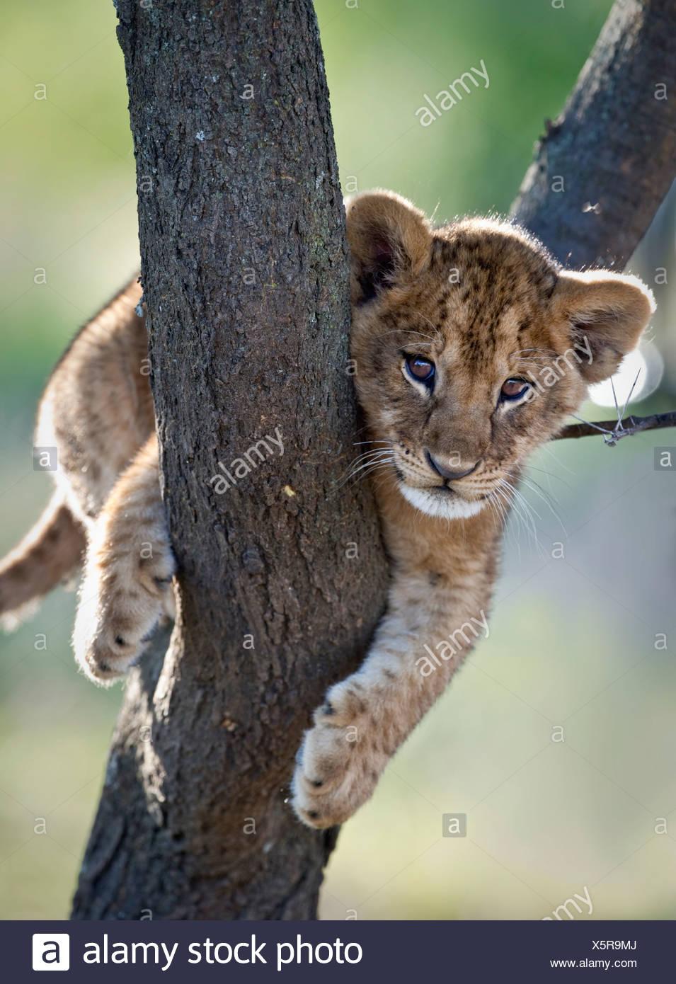 Lion cub about 3 months old, climbing a tree. Near Ndutu, Ngorongoro Conservation Area / Serengeti National Park, Tanzania. - Stock Image