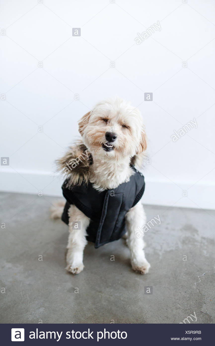 Portrait of cute smiling dog wearing waterproof dog coat - Stock Image