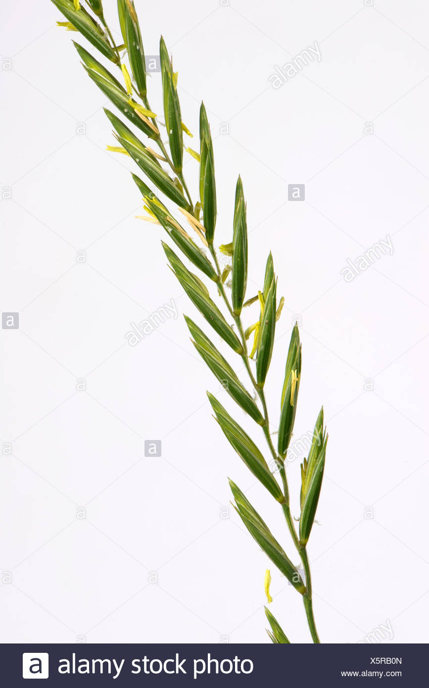 Couch grass, Elymus repens, flowering spike of important agricultural weed - Stock Image