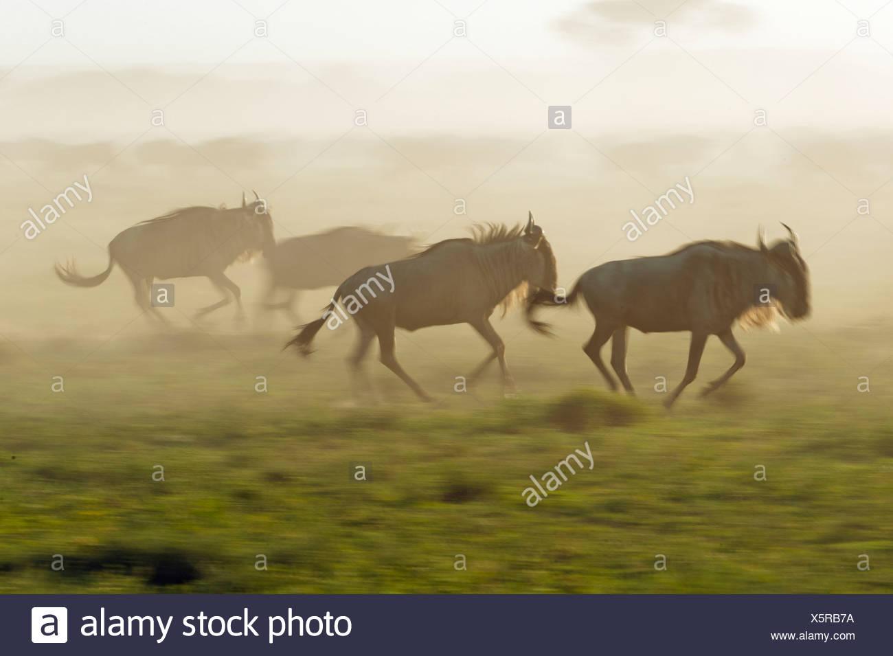 Whirling dust from Blue Wildebeest (Connochaetes taurinus) running in the evening haze, Serengeti, Tanzania - Stock Image