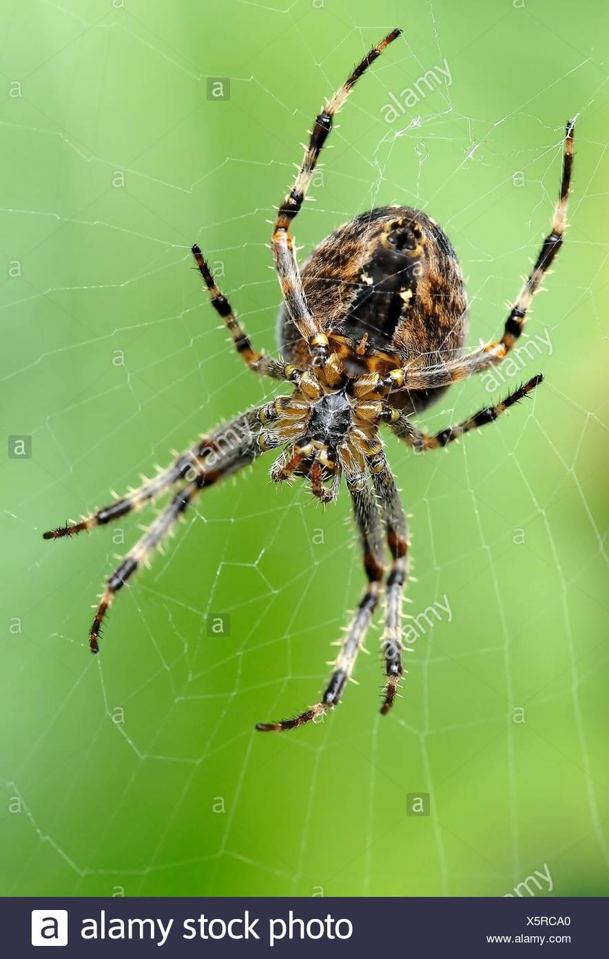 Garden spider - Stock Image