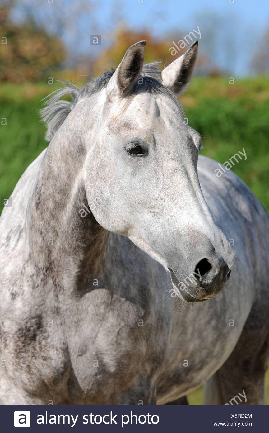Hessian horse portrait - Stock Image