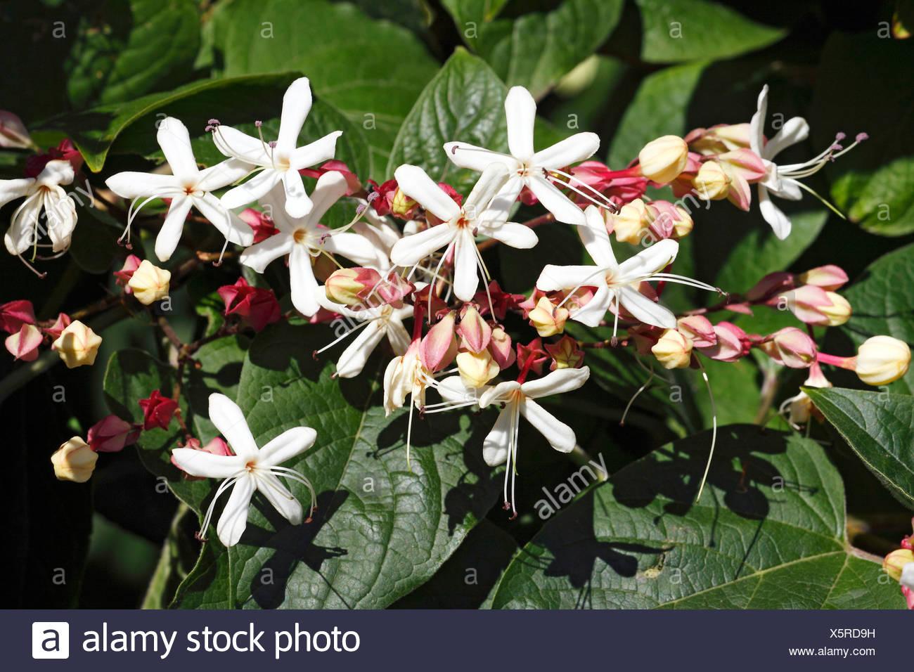 Flowering Glory Tree Clerodendrum Trichotomum