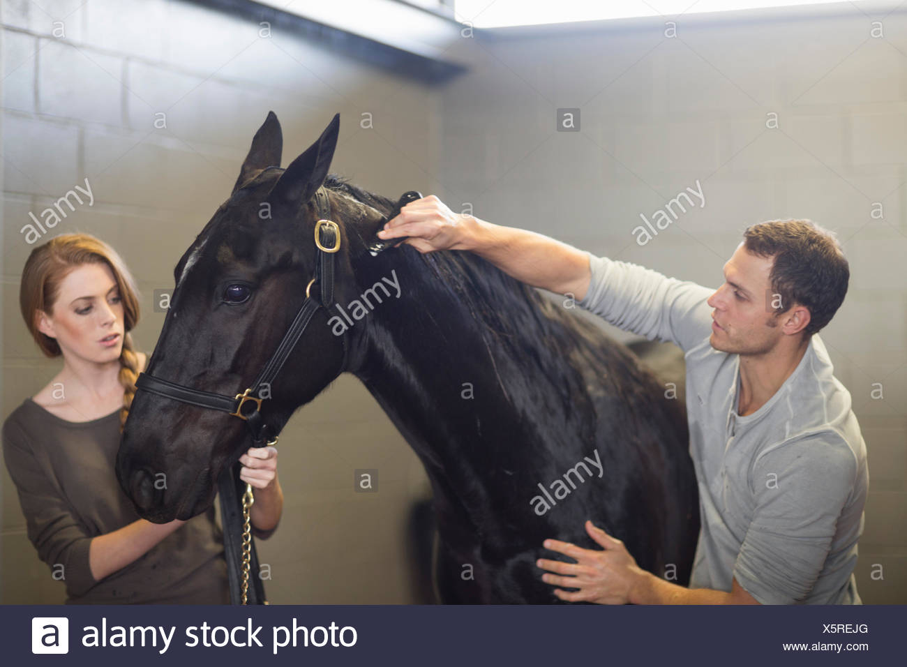Stablehands grooming black horse in stables Stock Photo