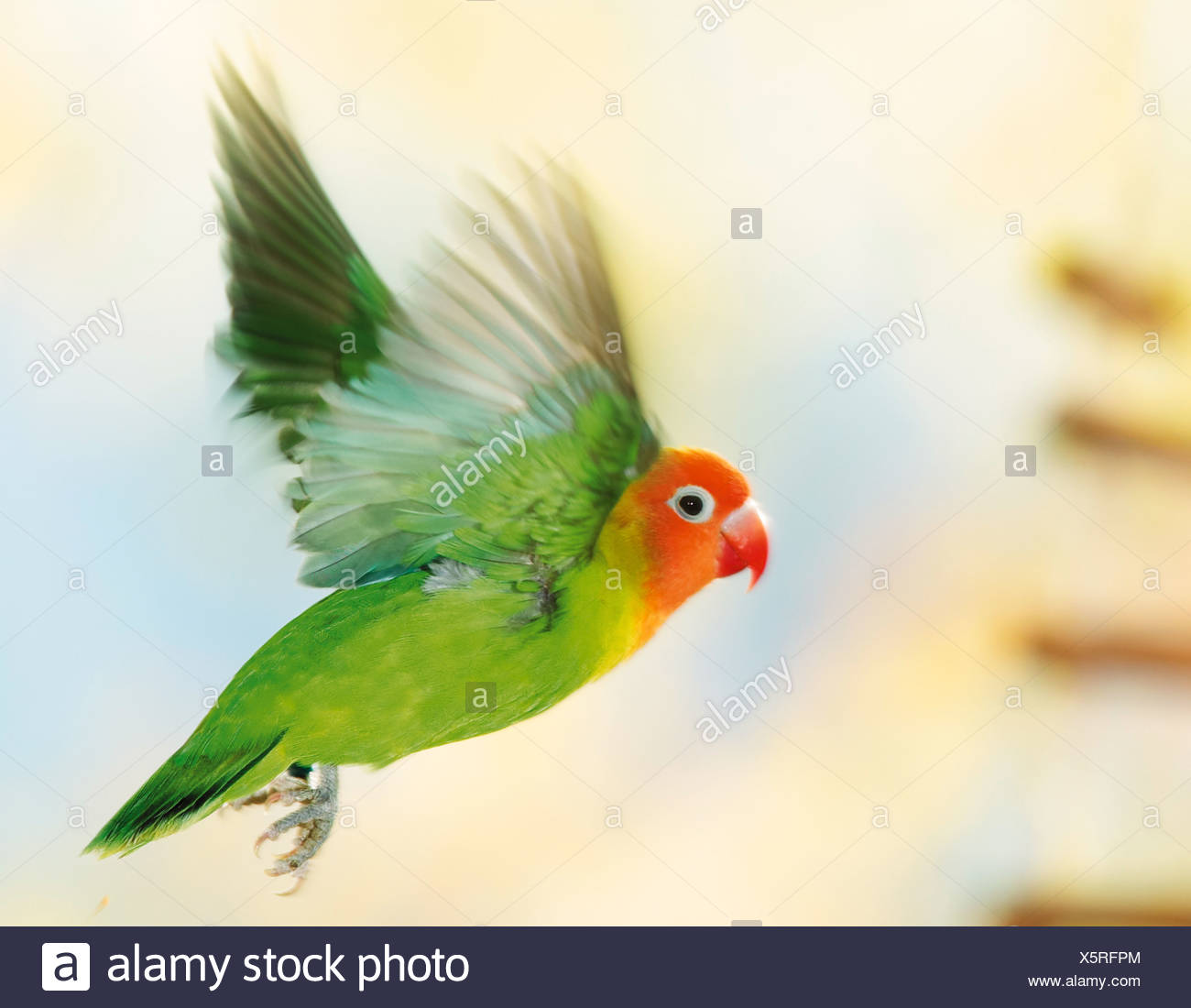 Fischer's Lovebird - flying / Agapornis fischeri - Stock Image