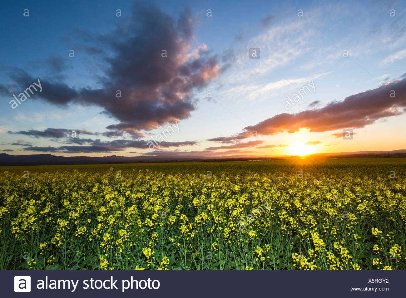 Surrounded By Canoloa Feilds Quotes: Canola Plant Stock Photos & Canola Plant Stock Images